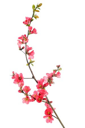 plum tree: elegant japanese quince branch blossom isolated on white
