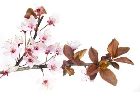 closeup on red plum tree blossom isolated on white  photo