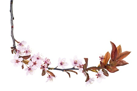branch of red plum tree blossom isolated on white Stock Photo - 4504614