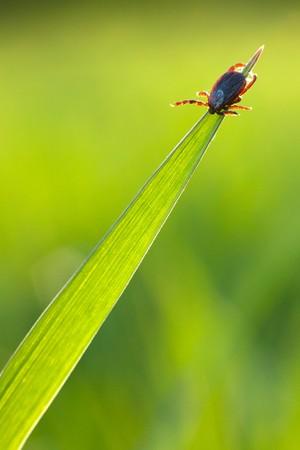 tick waiting victim on blade of grass