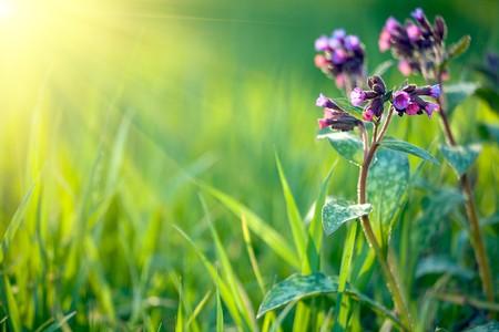 medicina a base de plantas (pulmonaria longiflora) en la primavera fresca pradera Foto de archivo - 4549016