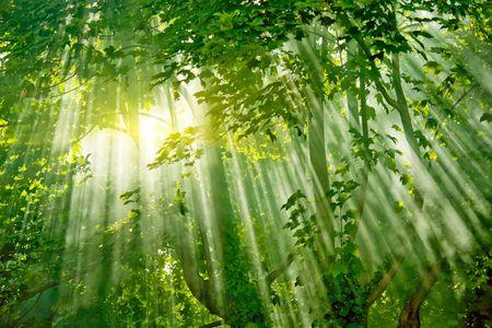 magic sunlight in fresh misty forest Stock Photo - 4650604