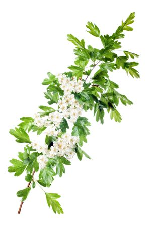 crataegus: fresh hawthorn branch with flowers isolated on white