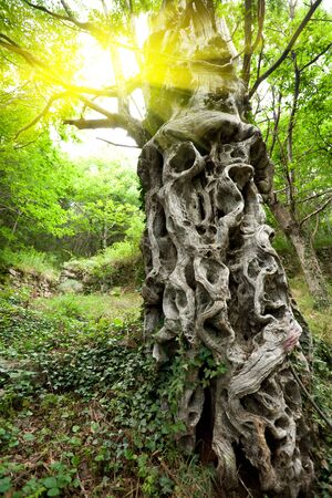 tortuous: old tortuous sweet chestnut tree trunk in forest with sunlight