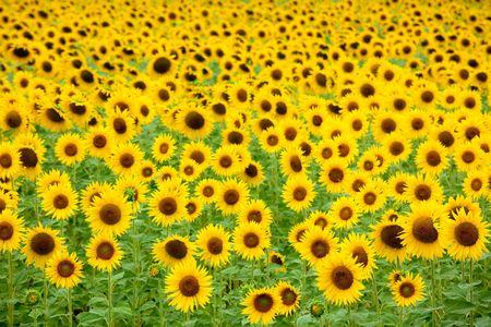 sunflower field background, focus on first flowers photo