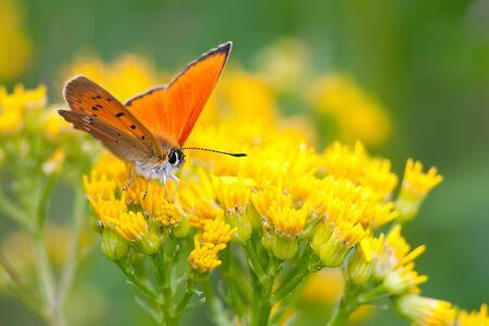 virgaureae: orange scarce copper butterfly on yellow flowers Stock Photo