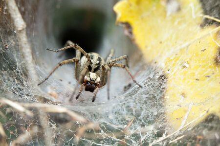 arachnoid: grande ragno Tegenaria piedi di fronte a lei buco web
