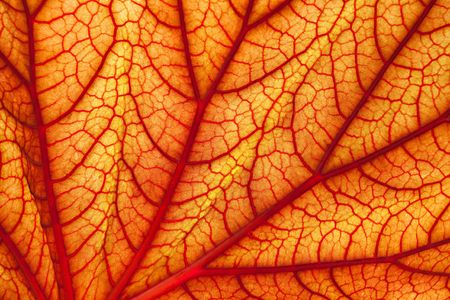 background of red geranium leaf, look likes human veins photo