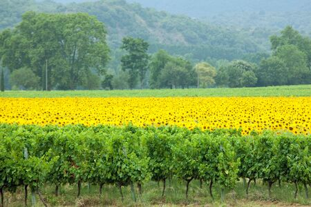 agriculture landscape vineyard and vivid sunflower  photo