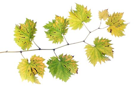autumn grape vine branch isolated on white background Stock Photo - 5919600