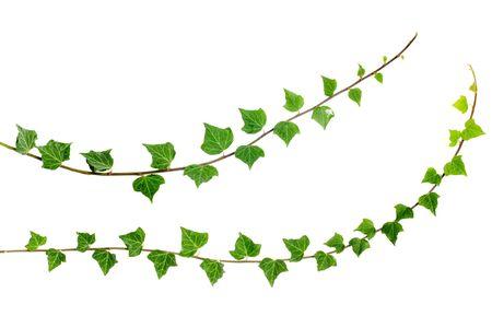 vid: dos ramas de hiedra fresca aisladas sobre fondo blanco