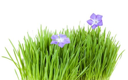 catnip: fresh grass growing with periwinkle flowers Stock Photo