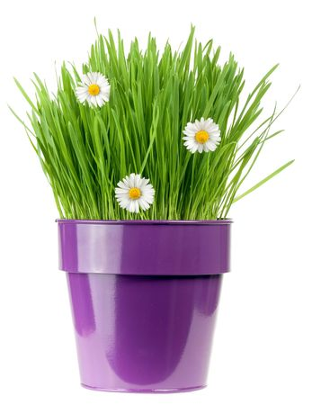 potting: grass with botany daisies in metallic flower pot isolated on white background Stock Photo