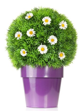 potted plants: flower pot with daisies in green bush isolated on white Stock Photo