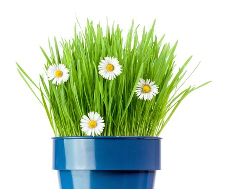 fresh grass and botany daisies growing in metallic pot
