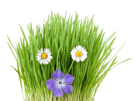 periwinkle and botany daisies among vivid fresh grass Stock Photo - 6741842