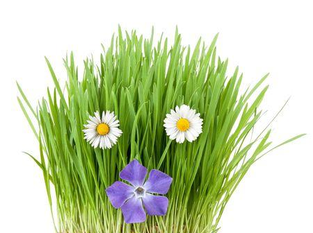 periwinkle and botany daisies among vivid fresh grass Stock Photo - 6741842