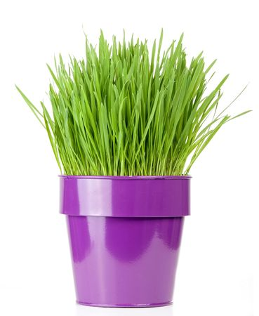 catnip: catnip grass growing in metallic flower pot Stock Photo