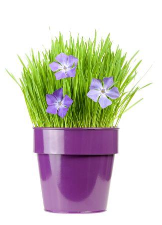 nepeta cataria: erba fresca e pervinca nel vaso di fiori metallico  Archivio Fotografico