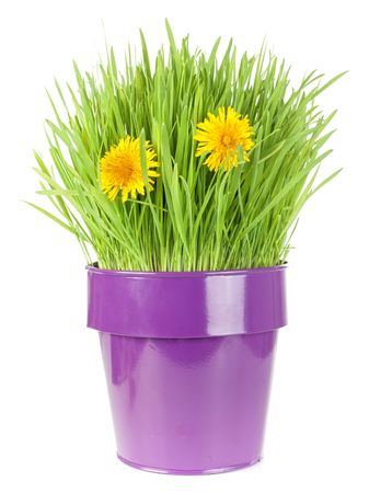 grass in metallic  flowerpot with dandelion flowers isolated on white Stock Photo - 6741844