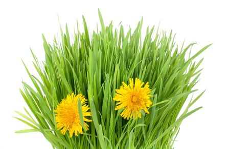 fresh grass tuft with two dandelion flowers isolated on white Stock Photo - 6741848