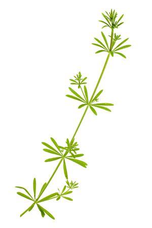 scrambling: tinctorum di rubia pianta pi� arrabbiata isolato su sfondo bianco Archivio Fotografico