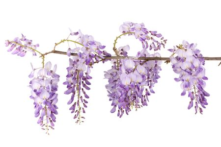 wisteria branch blossom isolated on white background photo