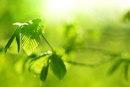 albero nocciola: nuovo albero di nocciolo lascia sotto brillante luce del sole di primavera