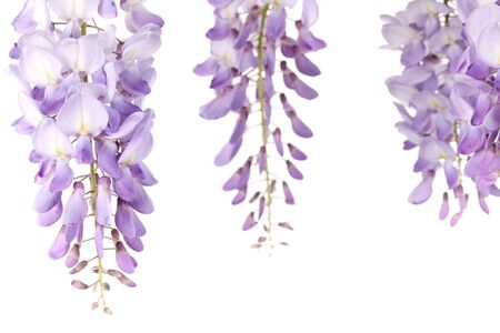 closeup on wisteria flowers isolated on white background photo