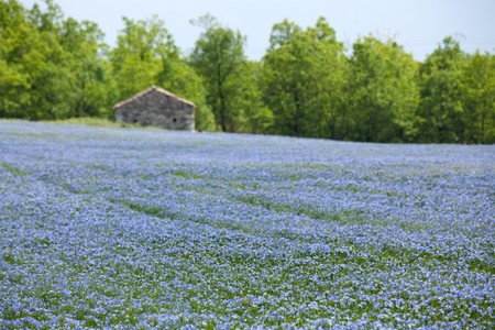 depth of field: beautiful blue flax field landscape at spring, shallow depth of field