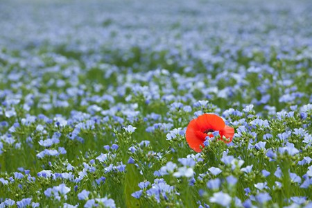 single red poppy in blue flax field at spring, shallow depth of field photo