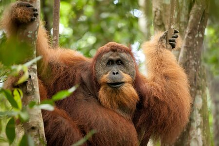 sumatran wild orangutan hanging on liana and looking at camera photo