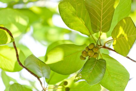 ficus: tropical wild figs on ficus tree, food for monkeys!