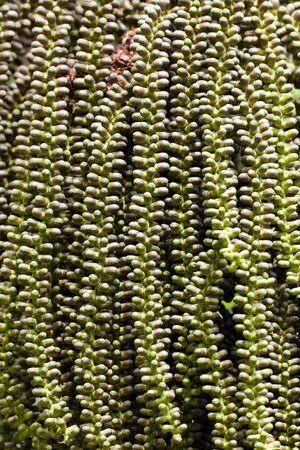 braids of many little dates on asian palm tree photo