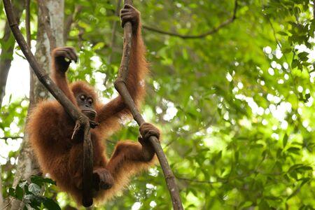 liana: wild young orangutan hanging on liana in sumatra tropical rainforest Stock Photo