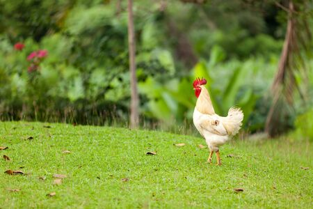 countrylife: tropical cock walking on gras area, sumatra, indonesia