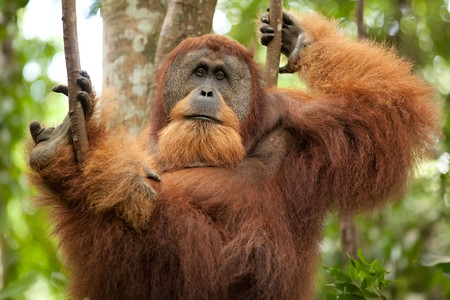 liana: sumatran wild orangutan hanging on liana and looking at camera