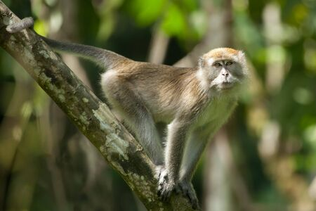 long tailed macaque in tropical rainforest looking at camera photo