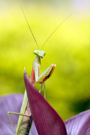 mantid: tropical praying mantis on purple leaf, indonesia