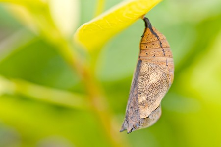 butterfly chrysalis of nymphalidae hanging on plant leaf Stock Photo