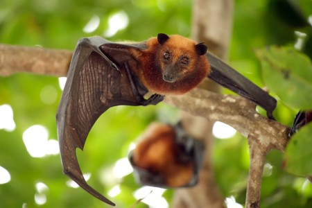 pteropus: bat Pteropo guardando la fotocamera, isola di tioman, malaysia