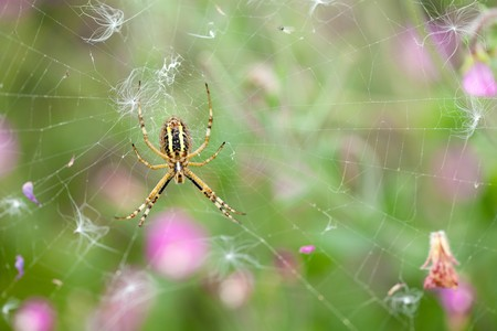 wasp spider argiopes on web with pink flowers on background photo