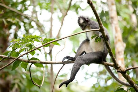 wild thomas leaf monkey sitting on a tree branch, sumatra, indonesia Stock Photo - 7713062