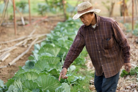 thai farmer showing organic cabbage growing in garden, chiang rai province, Thailand Stock Photo