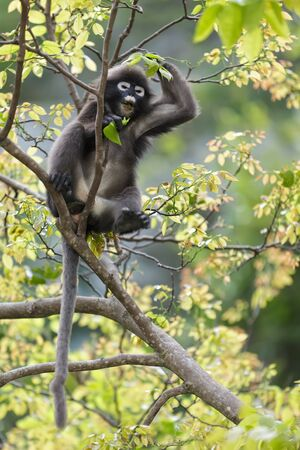 dusky: dusky leaf monkey sitting on tree branch, thailand