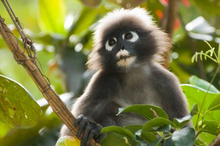 portrait of dusky leaf monkey in tropical tree photo