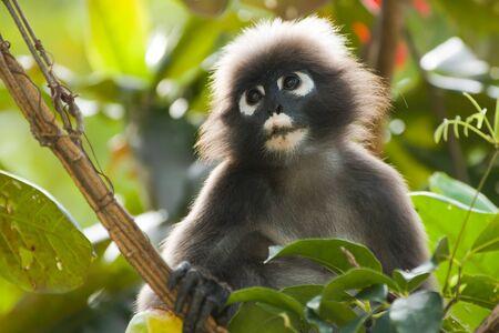 portrait of dusky leaf monkey in tropical tree photo