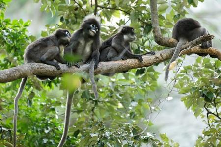 spectacled: dusky leaf monkeys in tropical rainforest, thailand