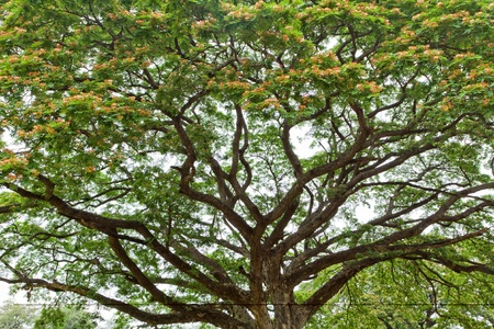 flowered: large flowered tropical tree in park, thailand