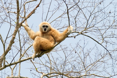 gibbon: white handed gibbon hylobates lar standing in tree, thailand